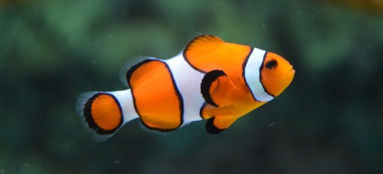 A clown fish swimming in a tan.